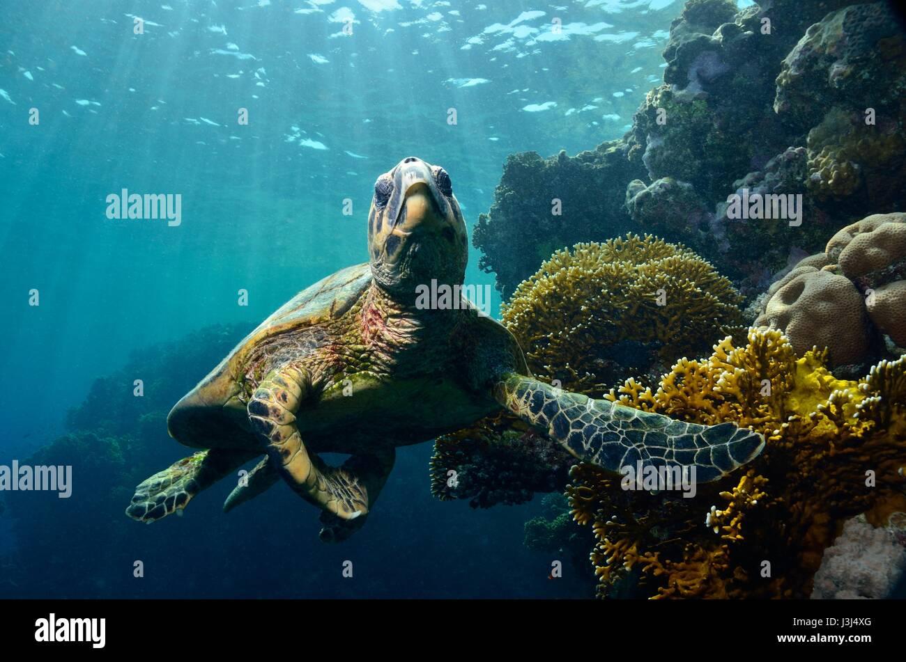 Meeresschildkröte, hawksbill tartarughe marine, Echte Karettschildkröte, Eretmochelys imbricata, Mar Rosso, Immagini Stock
