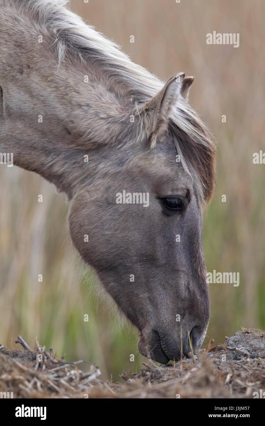 Konik Pony, ritratto del singolo adulto in reedbed, Minsmere, Suffolk, Regno Unito Immagini Stock