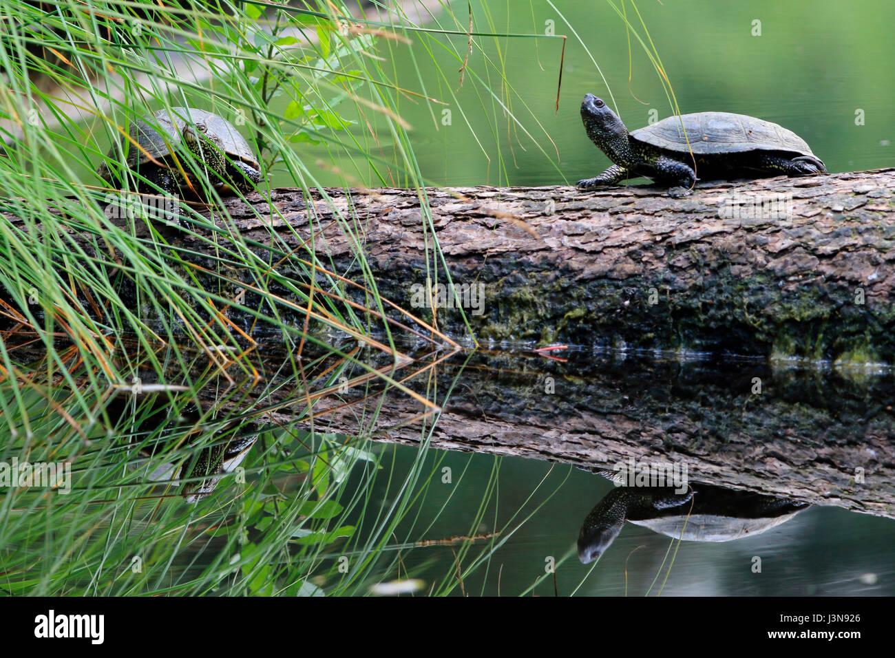 Europaeische Sumpfschildkroete, Emys orbicularis, Moorsee, Pfrunger-Burgweiler Ried, Baden-Wuerttemberg, Deutschland, Immagini Stock