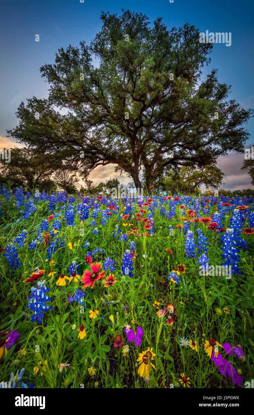 Bluebonnets e coperta Indiano lungo la strada di campagna nel Texas Hill Country intorno Llano. Lupinus texensis, Immagini Stock