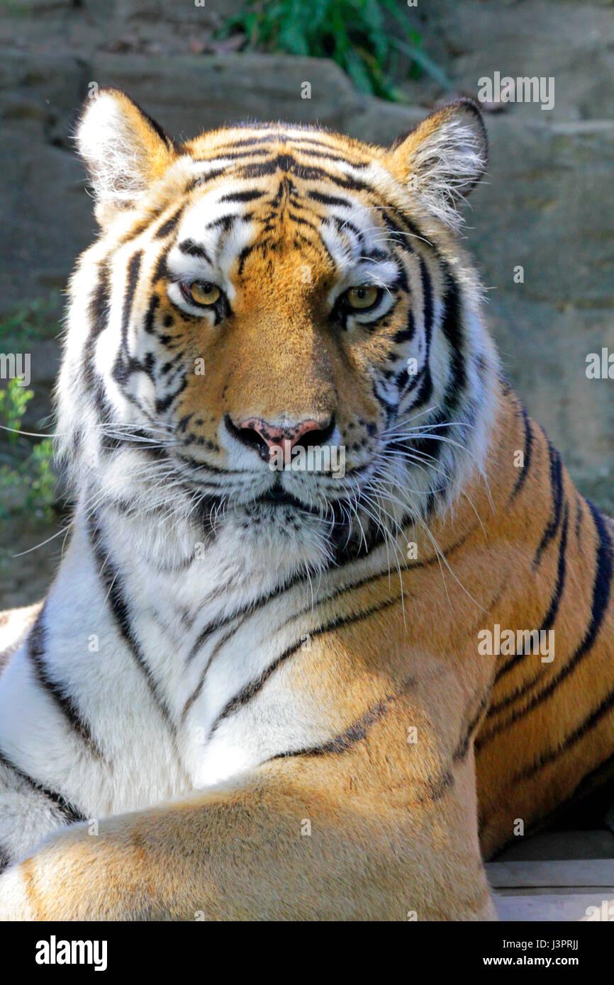 Tigre Siberiana alla Tama parco zoologico Hino city Tokyo Giappone Foto Stock