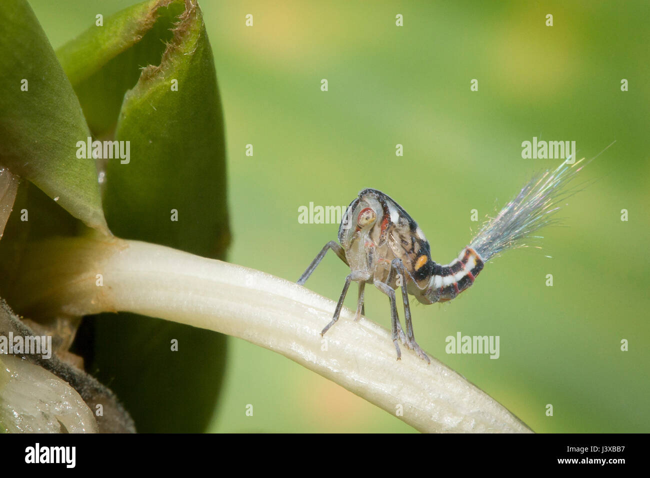 Un planthopper nyph con fillaments ceroso emergenti dalla sua estremità posteriore come fuochi d'artificio. Immagini Stock