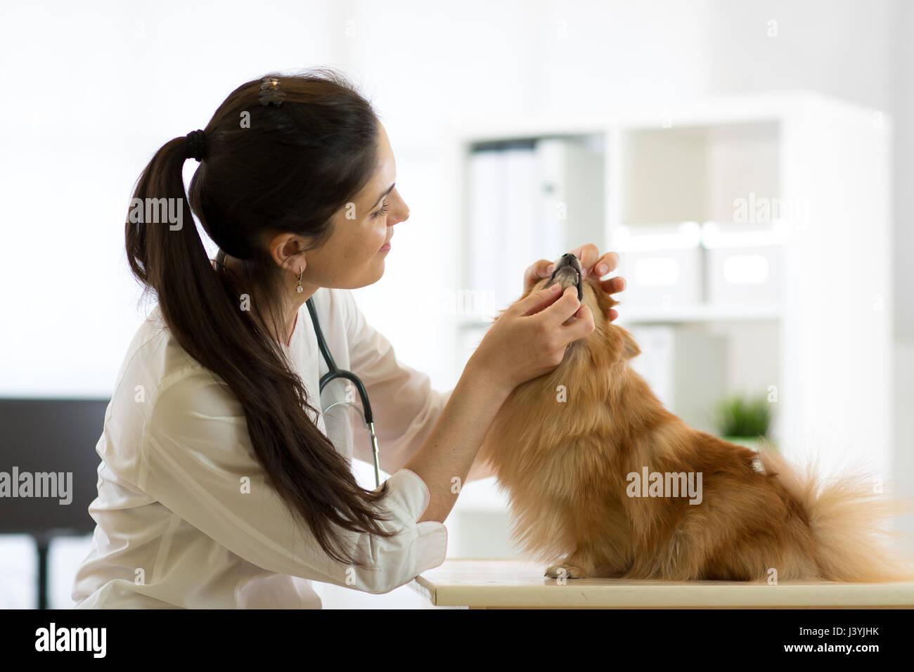 Veterinario femmina esaminando denti di cane in clinica Immagini Stock