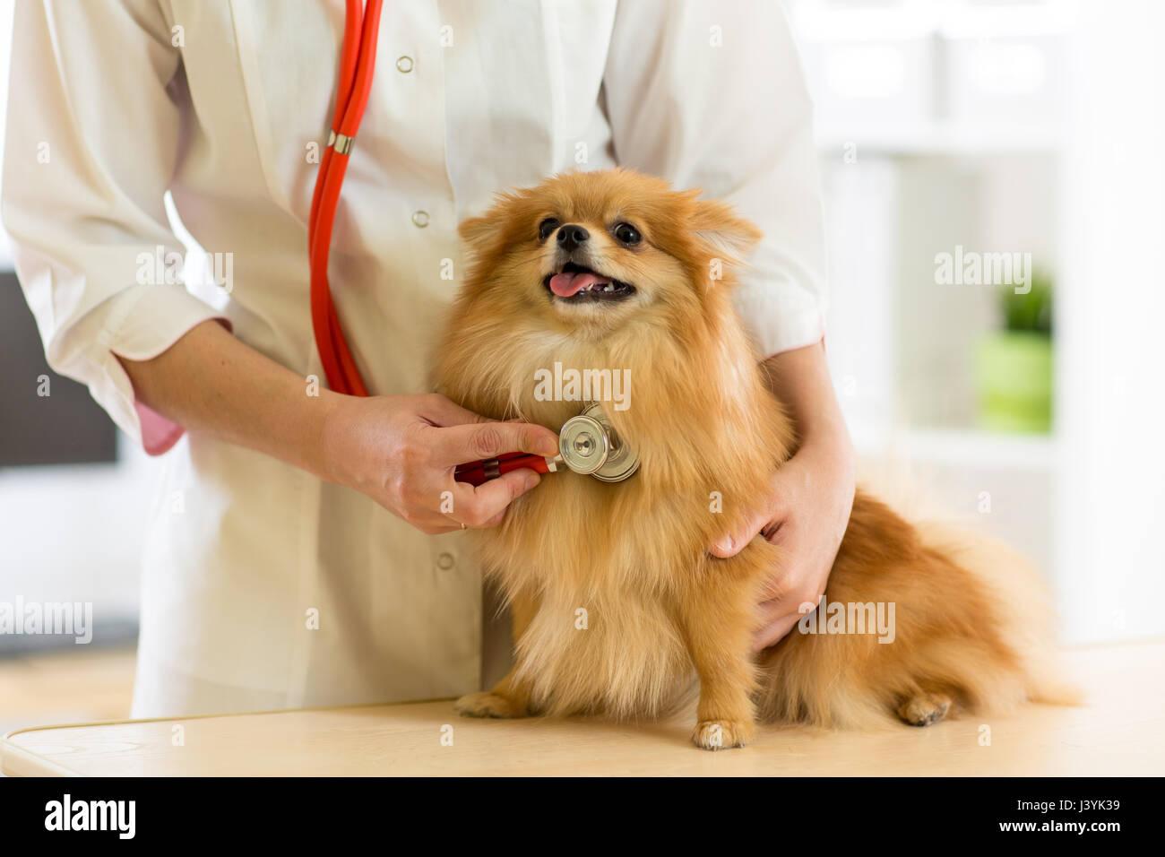 Il veterinario esaminando il cane razze Spitz con uno stetoscopio in clinica Immagini Stock