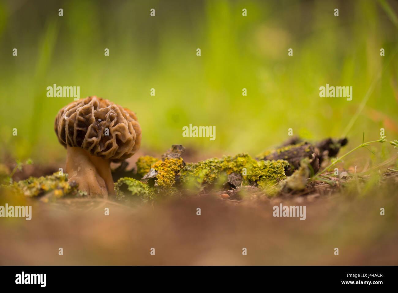 Morel (fungo Morchella conica) crescere in terreno. Questi funghi sono i corpi fruttiferi di questo fungo e può arrivare a parecchi centimetri di altezza. Foto Stock
