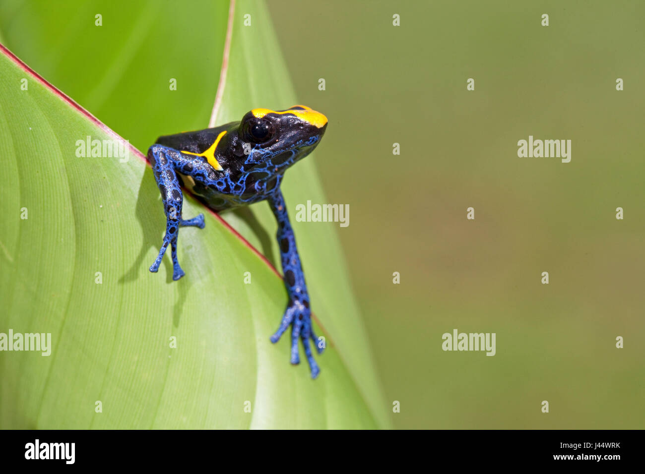 Foto di una tintura rana dart strisciando fuori di una foglia verde Immagini Stock