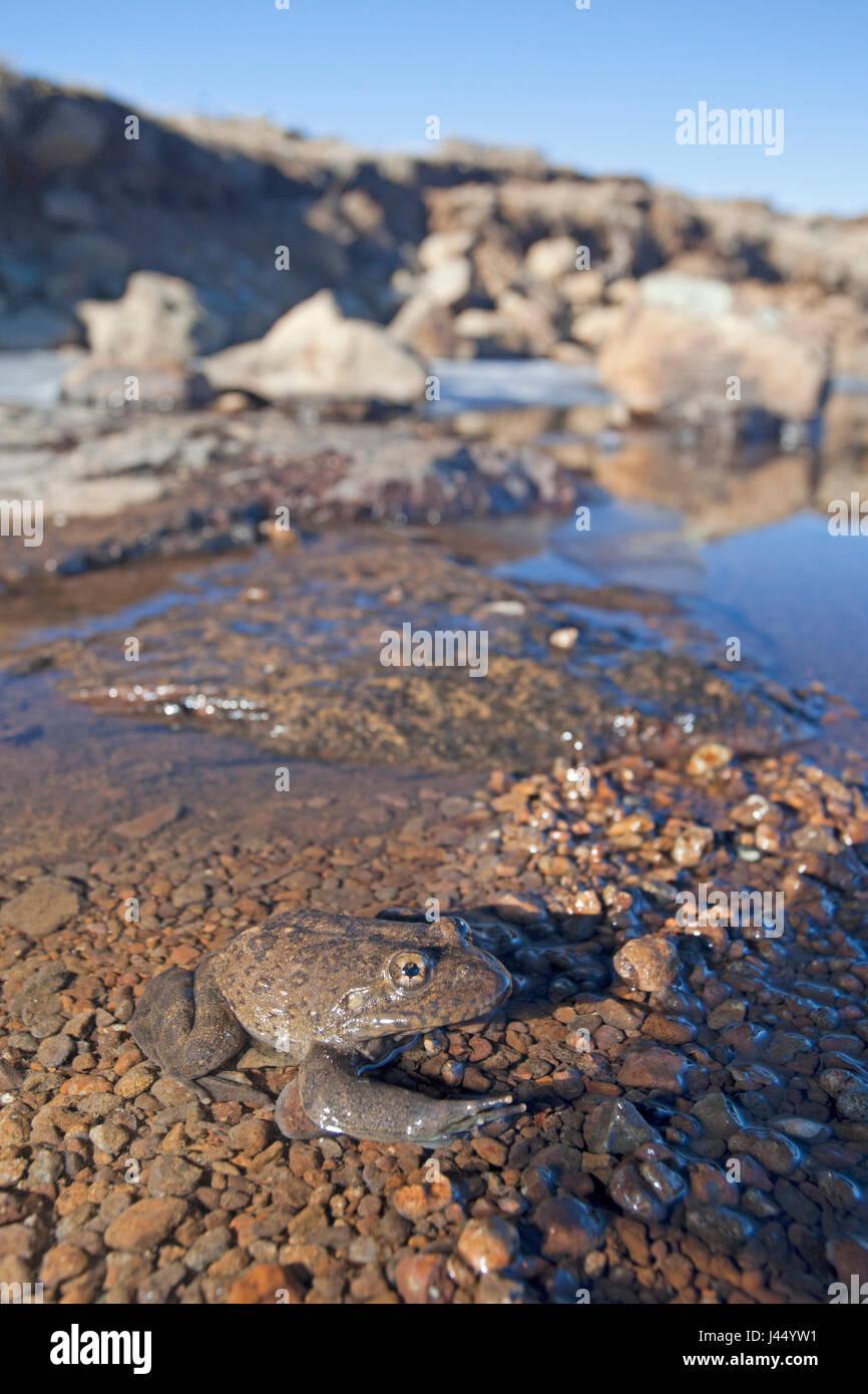 Foto di un fiume Maluti rana in una parzialmente congelato ruscello di montagna Immagini Stock