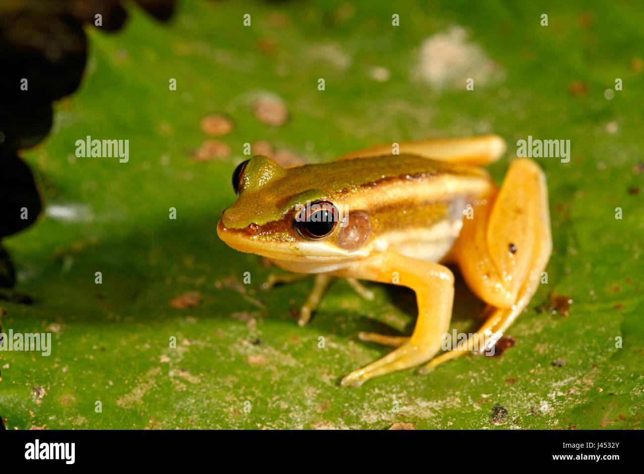 Foto di un verde rana di risone Immagini Stock
