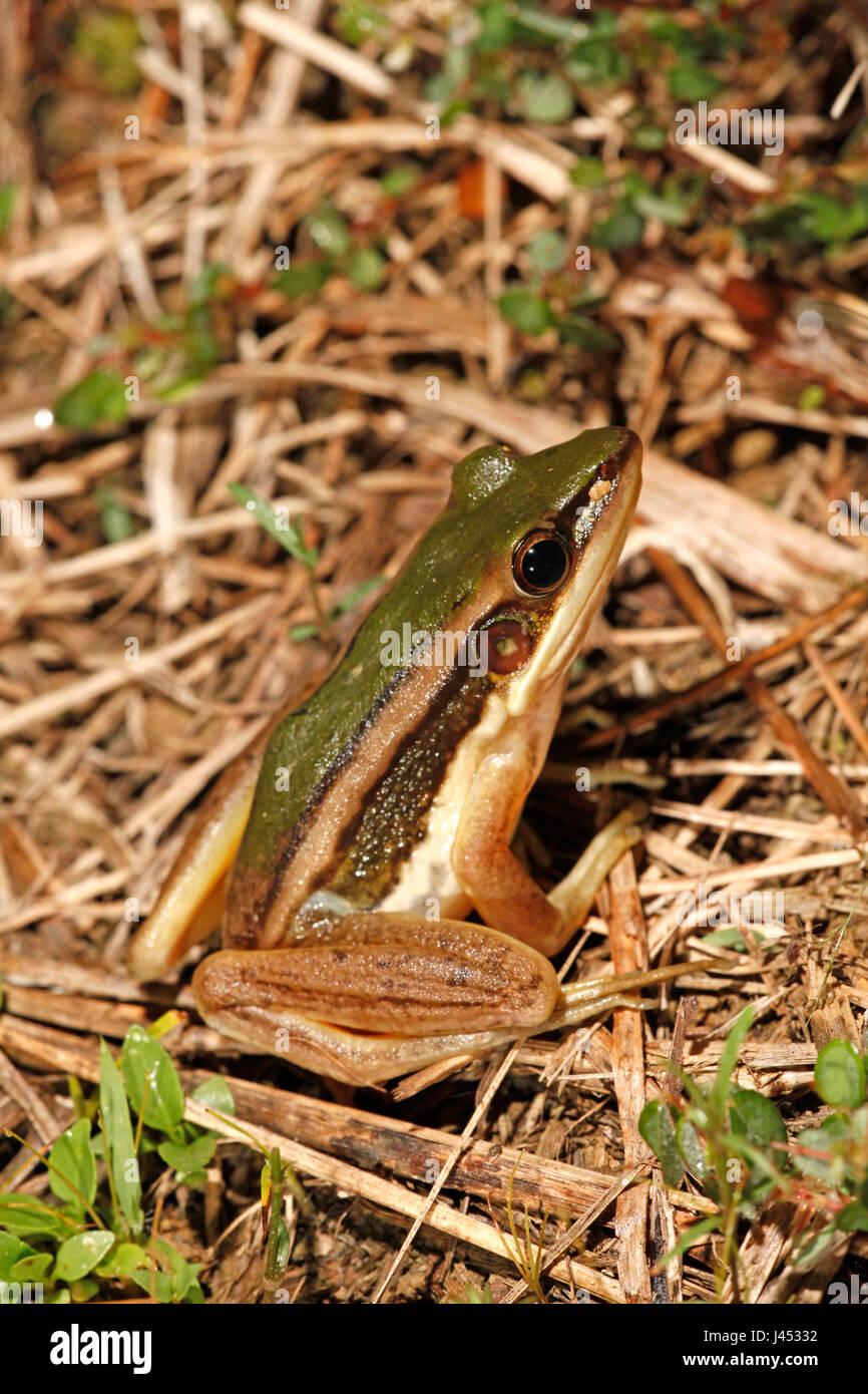 Foto di un adulto verde rana di risone Immagini Stock