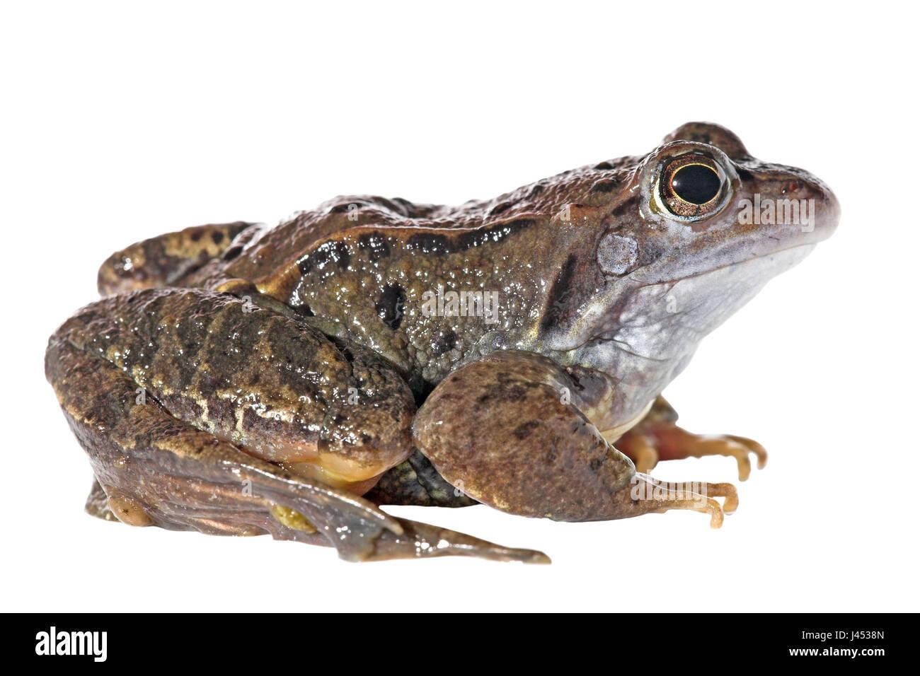 Moor frog contro uno sfondo bianco (resa) Immagini Stock