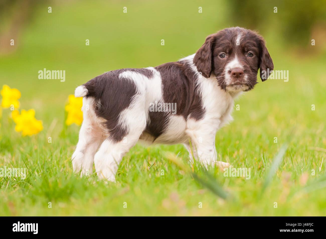 Un English Springer Spaniel cucciolo di 6 settimane di età ad esplorare il giardino Immagini Stock