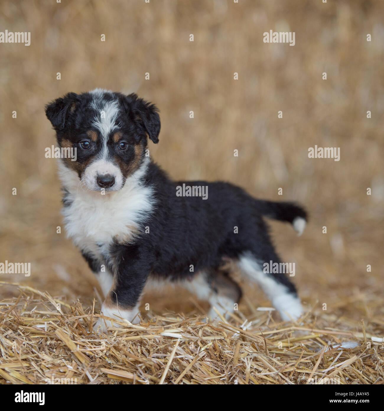Border Collie, cucciolo Foto Stock