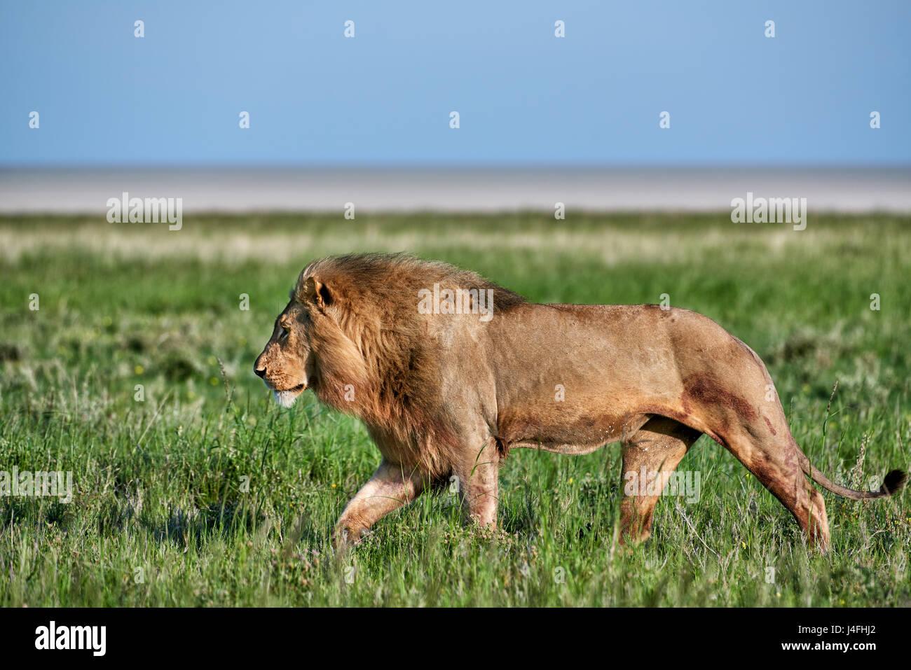 Leone maschio (panthera leo) attraverso il pattugliamento della zona Immagini Stock