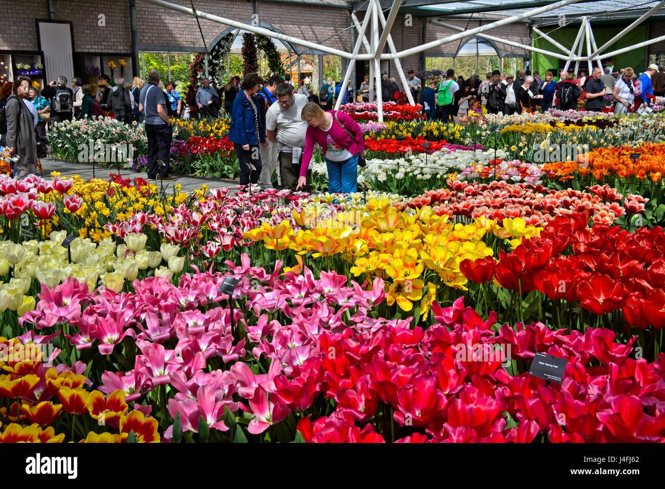 I tulipani in Willem-Alexander Pavillon, Keukenhof giardini di fiori Lisse, Paesi Bassi Foto Stock