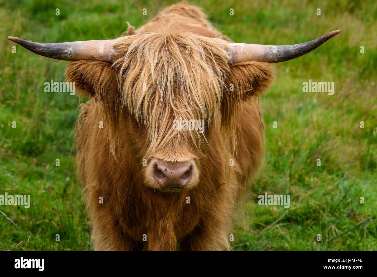 La mucca. Scotish highland bovini in ritratto; altopiani, Scotland, Regno Unito Foto Stock