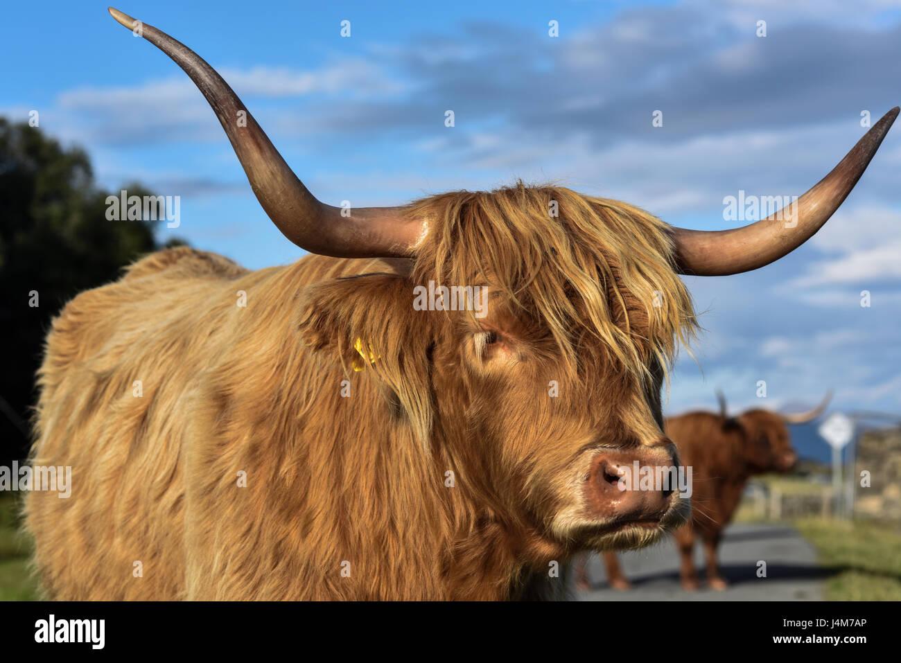 Highland bovini nella calda luce della sera. Highlands, Scotland, Regno Unito. Immagini Stock