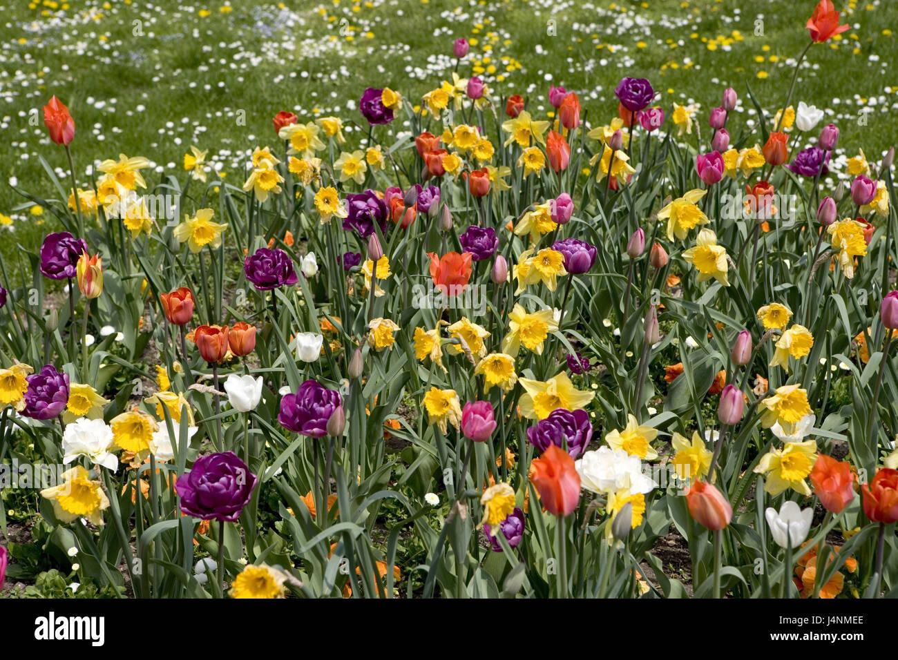 Tulipani, narcisi, blossom, giardino, prato prato di fiori, fiori ...