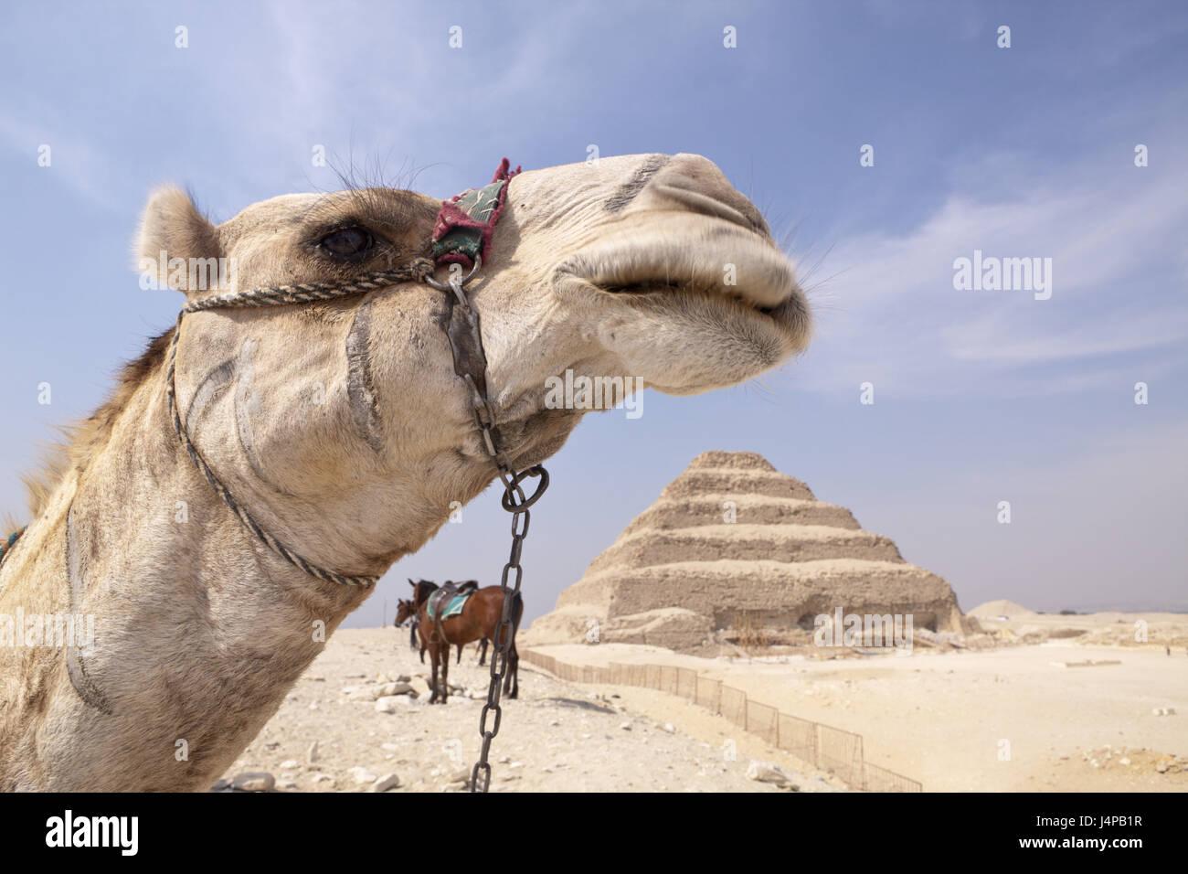 Il cammello, passo piramide Sakkara del faraone Djoser, Egitto, Sakkara, Immagini Stock
