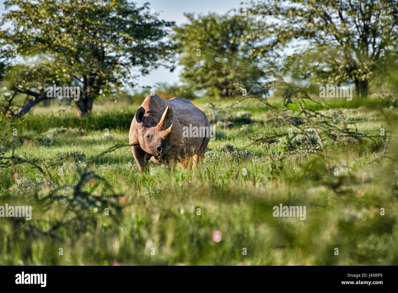 Rinoceronte nero, il Parco Nazionale di Etosha, Namibia Immagini Stock