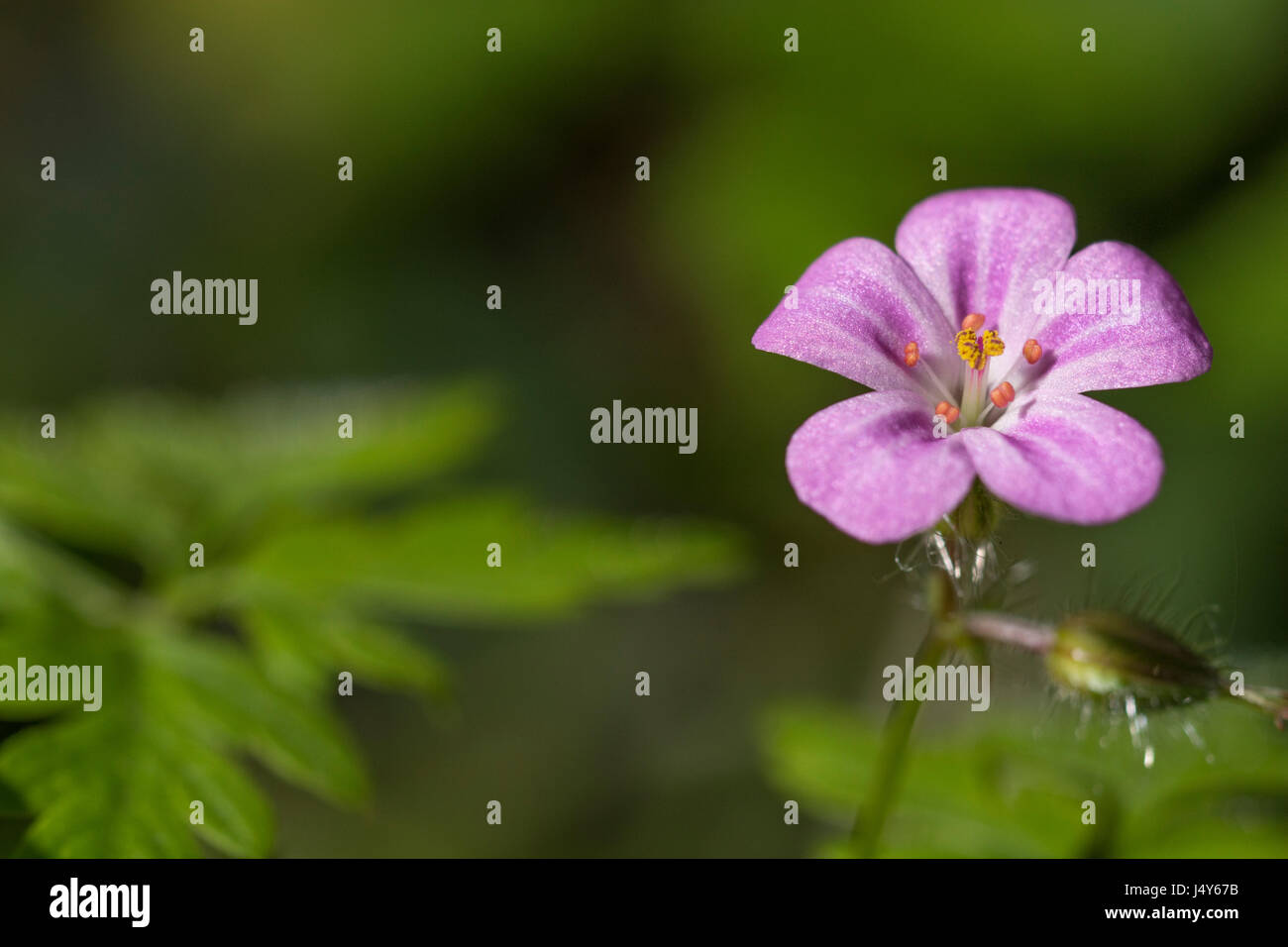 Fiori e fogliame / foglie di herb robert (Geranium robertianum) - precedentemente utilizzate in medicina di erbe. Immagini Stock