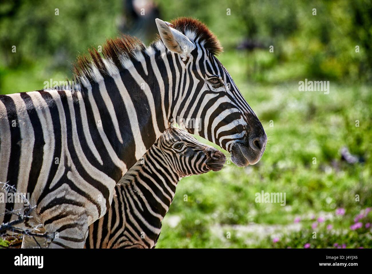 La Burchell zebra, madre con puledro, il Parco Nazionale di Etosha, Namibia Immagini Stock