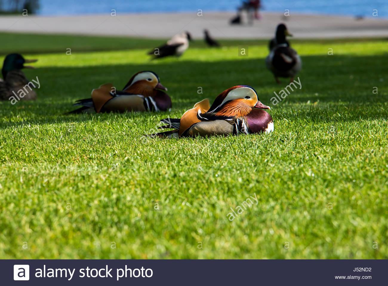 Maschio di Aix galericulata in appoggio sul prato al lago Wannsee a Berlino Germania, Germani reali in background Immagini Stock