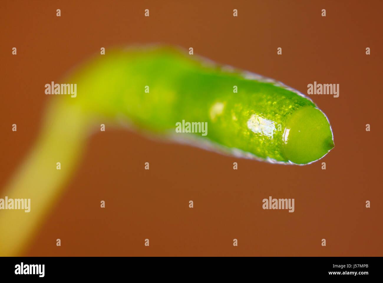 Verde muschio immaturi sporangium (sporofito) close-up su sfondo marrone Immagini Stock