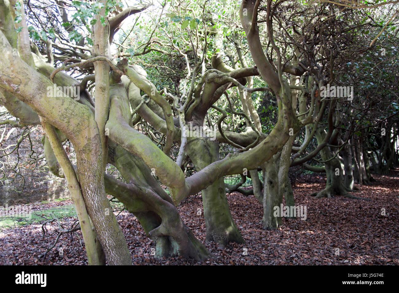 Non riesco a vedere il legno per gli alberi, ritorto aggrovigliati e rami di alberi maturi in un bosco di impostazione Immagini Stock