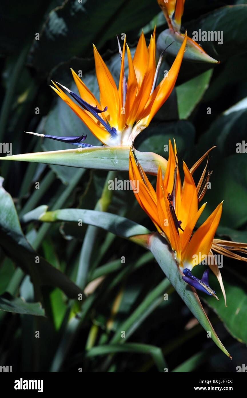 Pianta Fiori Arancioni.Blu Arancio Pianta Fiore Fiori Sbocciano I Fiori Fioriscono