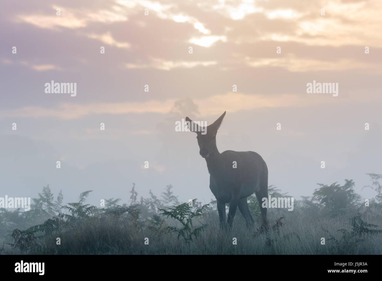 Silhouette di singolo Il cervo (Cervus elaphus) hind o femmina su una fredda mattina fresco su nuvoloso sunrise Immagini Stock