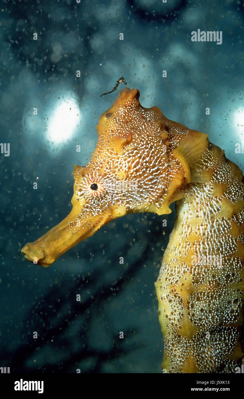 Pacific cavalluccio marino Hippocampus ingens Immagini Stock