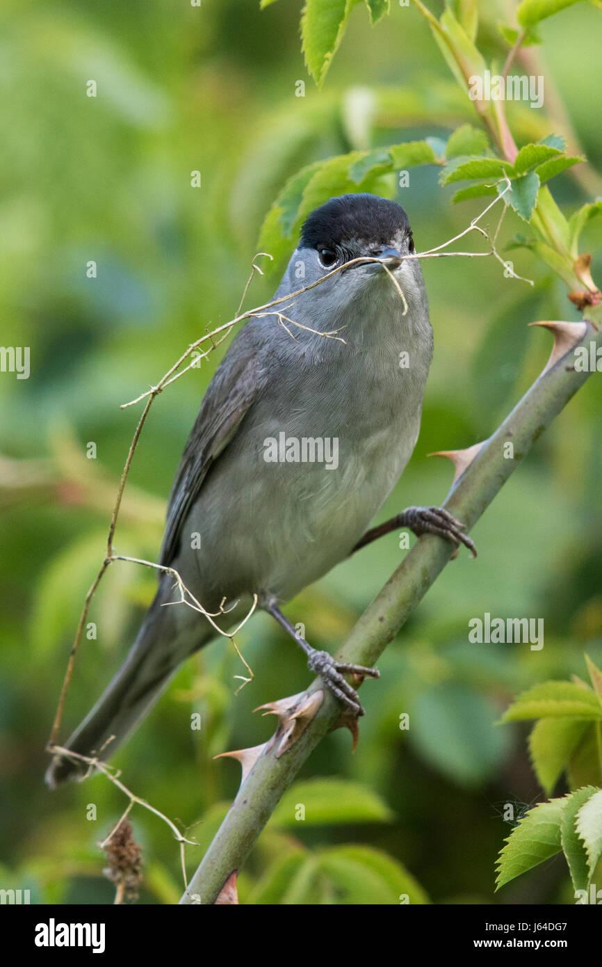 Capinera maschio (Sylvia atricapilla) la raccolta di materiale di nesting Immagini Stock