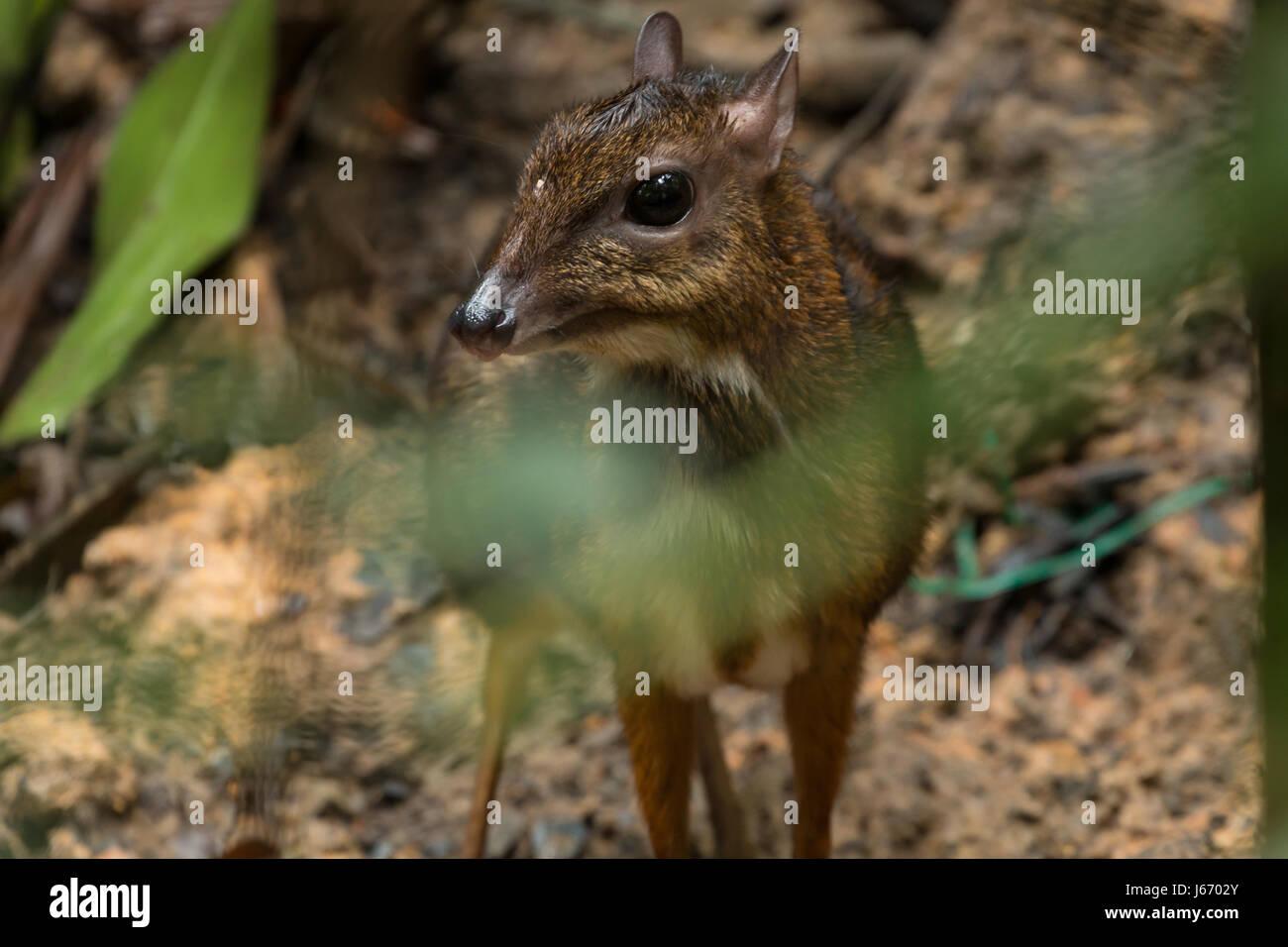 Timida mouse deer (Chevrotain) nascondersi dietro Bush in Singapore Immagini Stock