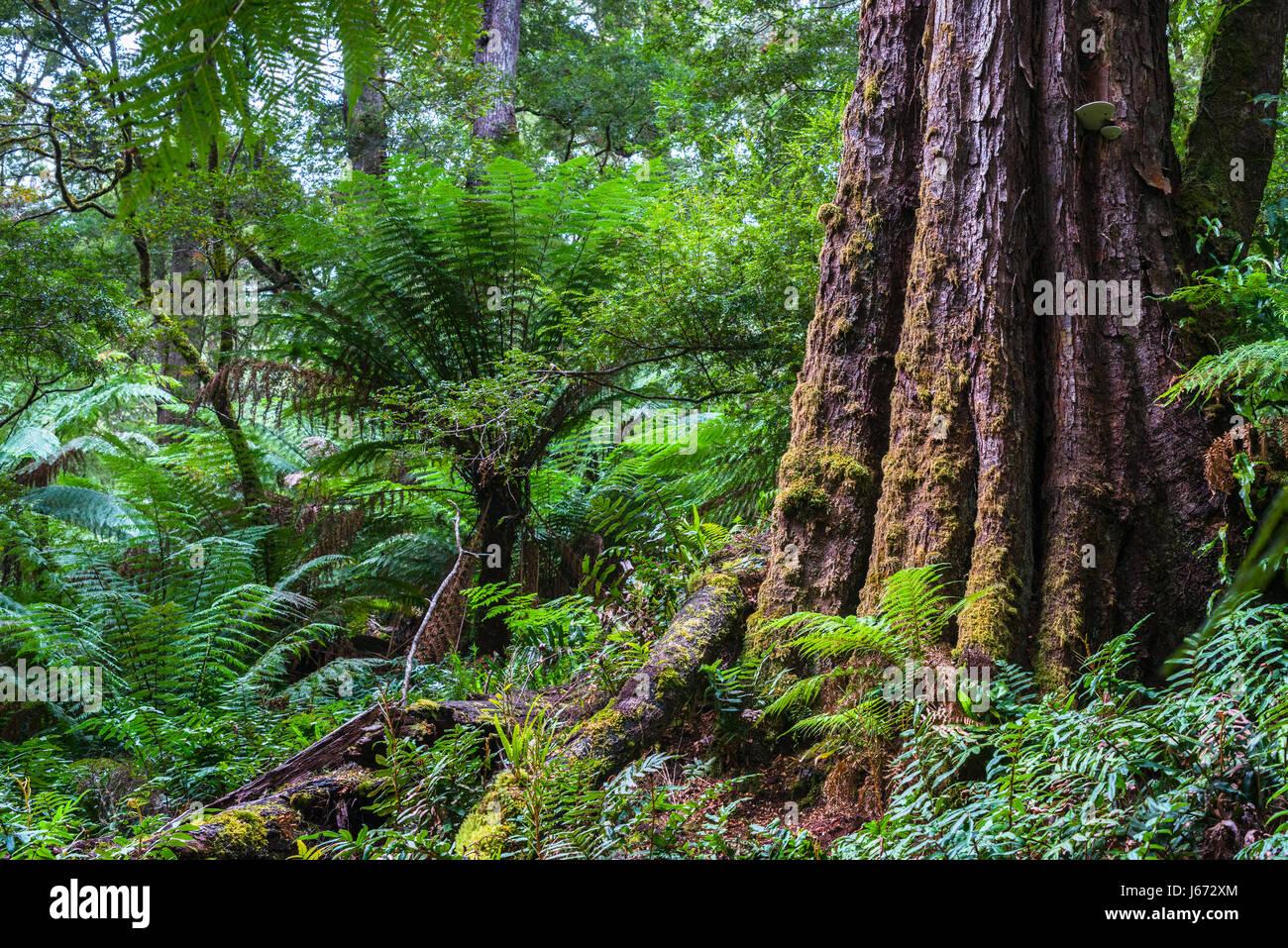 Dicksonia antarctica foresta di pioggia a Melba canalone del Parco Statale di grande Otway National Park, Vitoria, Immagini Stock