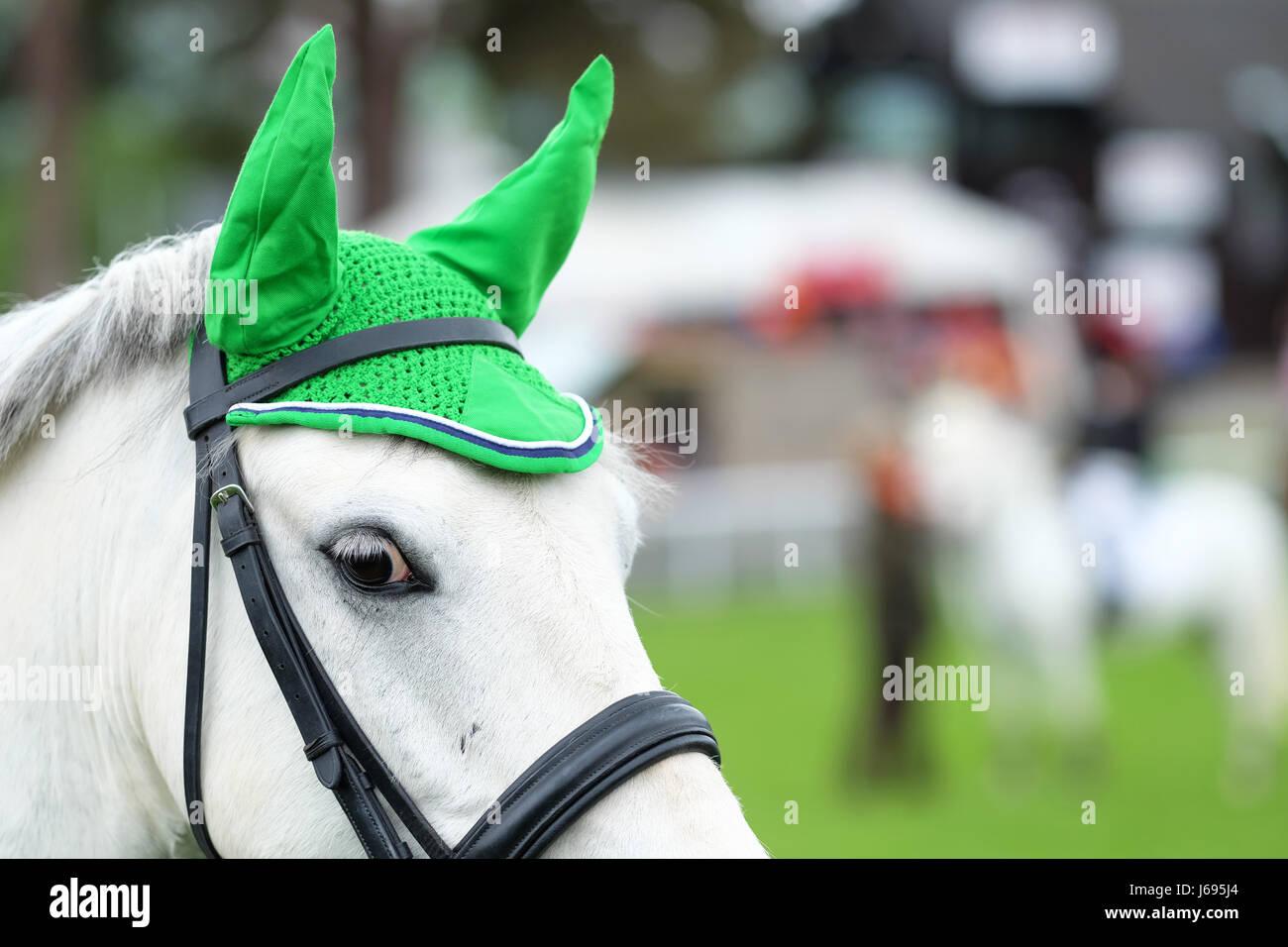 Royal Welsh Festival di Primavera, Builth Wells, Powys, Galles - Maggio 2017 - un pony con un distintivo verde orecchio Immagini Stock
