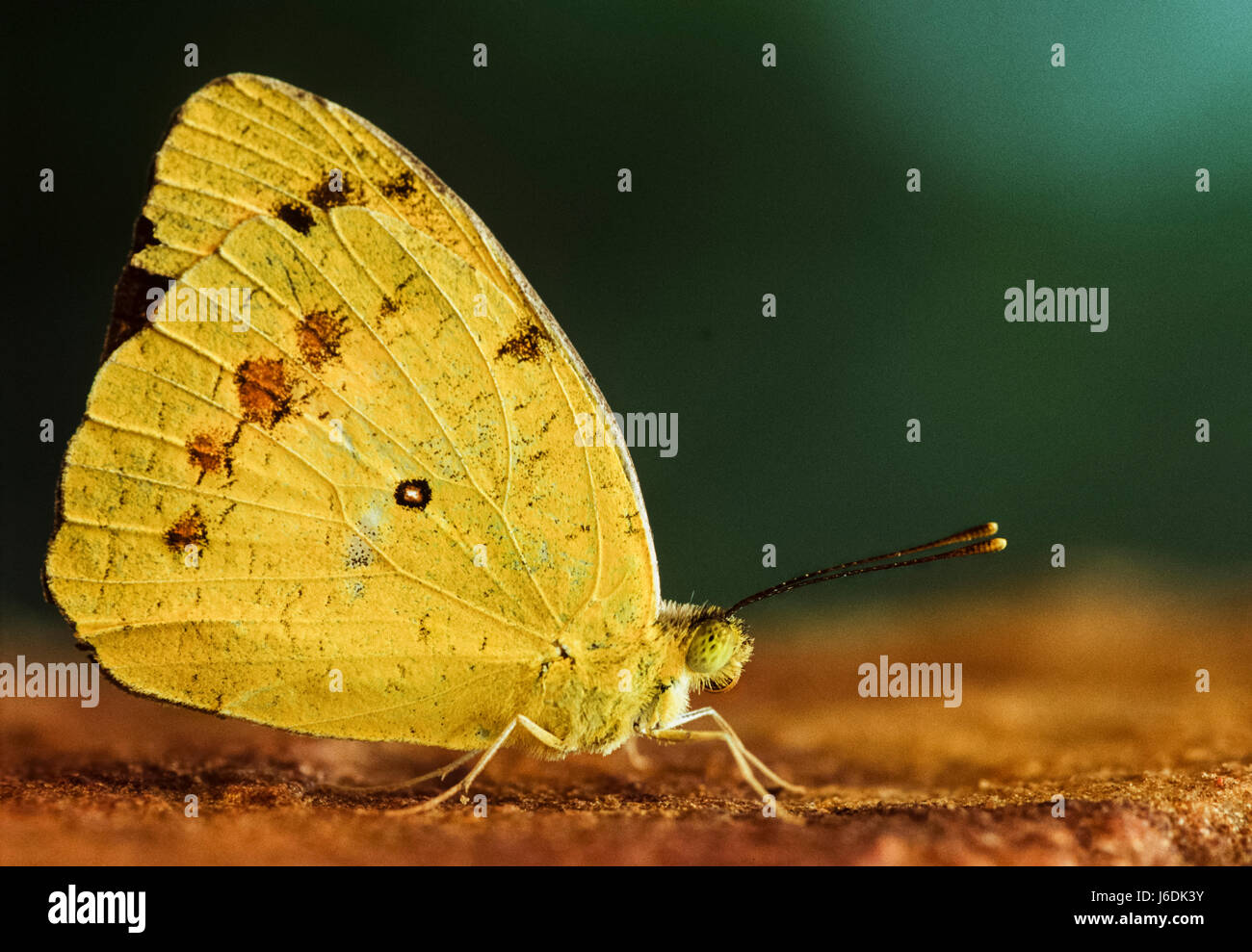 Oriental comune giallo Erba Butterfly, Eurema hecabe hecabe, Keoladeo Ghana National Park, Bharatpur Rajasthan, Immagini Stock