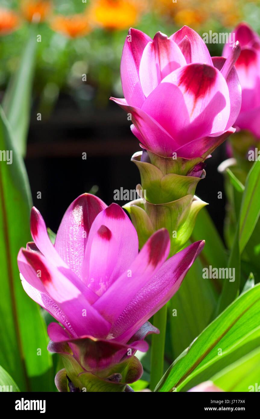 Rosa Curcuma Alismatifolia o il Siam Tulip Immagini Stock