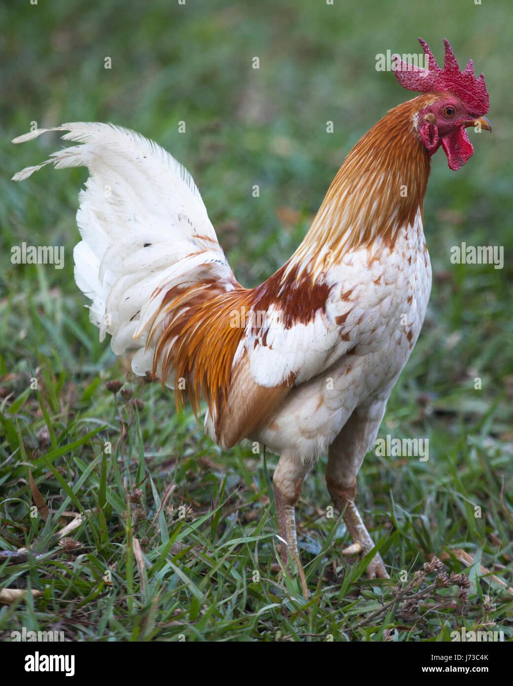 Free range rooster in erba Immagini Stock