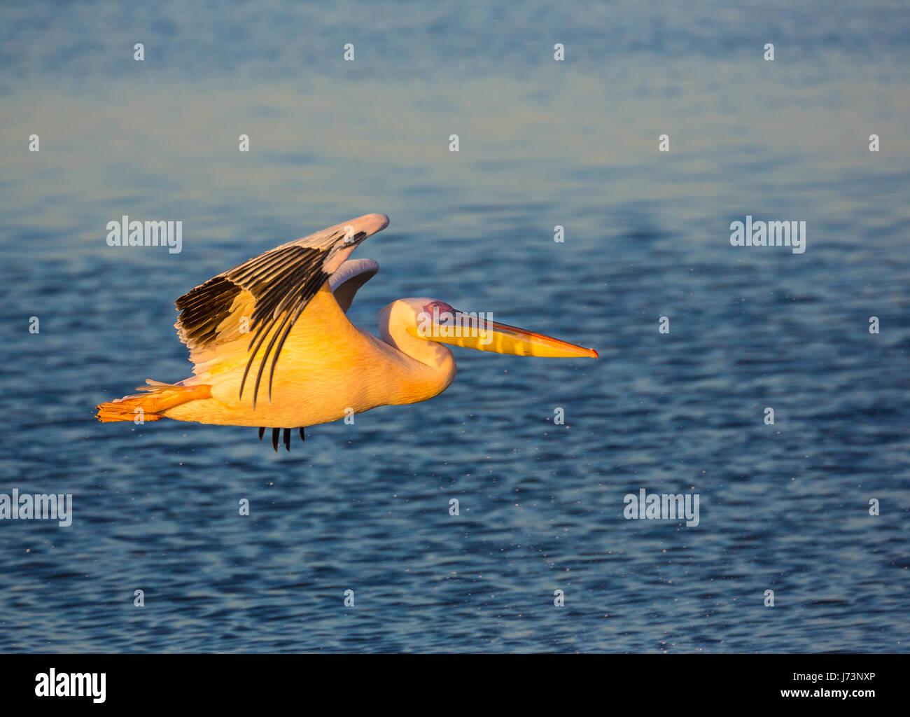 Pellicani sono un genere di grandi uccelli acquatici che compongono la famiglia Pelecanidae. Essi sono caratterizzati Immagini Stock