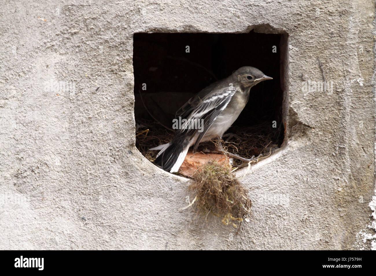 Bird nido di uccelli cantare-bird bobolinks wagtail stilt bird nido di uccelli giovani Foto Stock