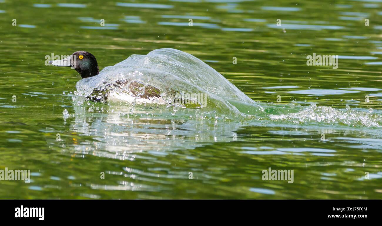 Moretta (Aythya fuligula). Vista laterale di un anatra Tufted nuoto veloce attraverso acqua coperta con il lavaggio Immagini Stock