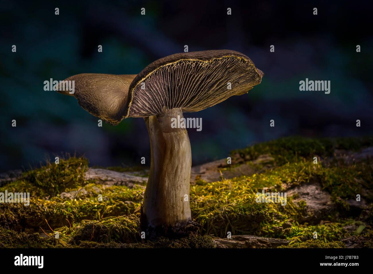 Fungo solitario sul suolo della foresta Immagini Stock