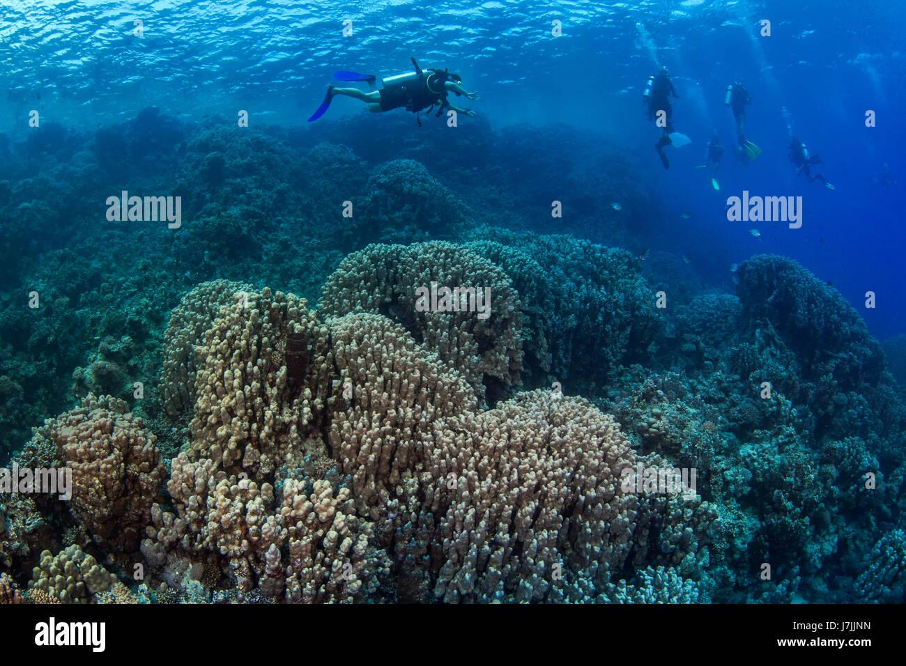Subacquei esplorare hard Coral reef del Mar Rosso al largo delle coste di Egitto. Foto Stock