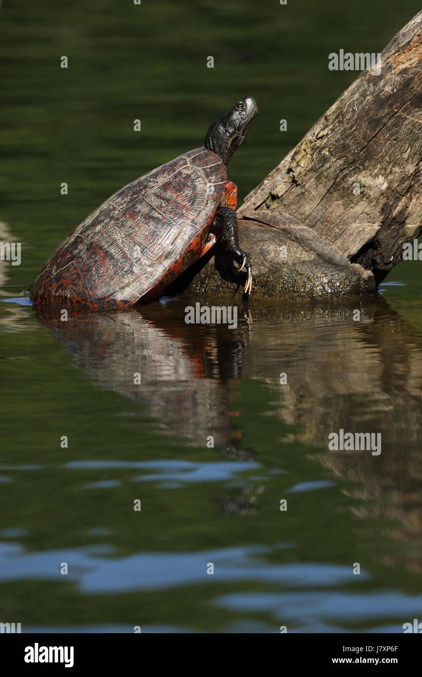 Rosso settentrionale di ventre (tartarughe Pseudemys rubriventris), Maryland, scaldandosi, IUCN redlist 'vicino Immagini Stock