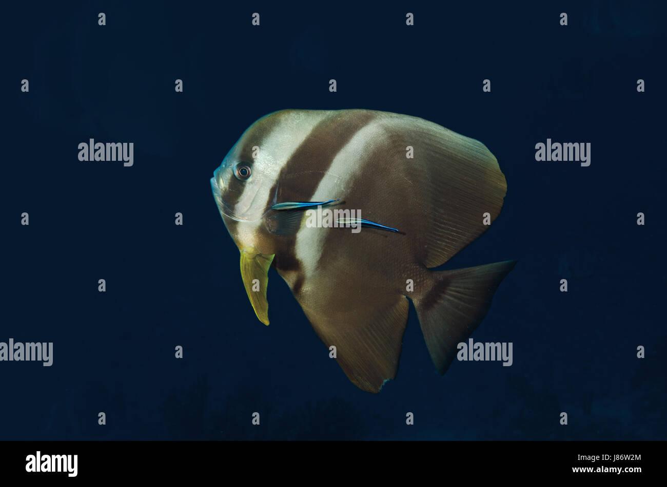 Longfin, Batfish Platax teira, con due wrasse, Nord atollo di Ari, Maldive Immagini Stock