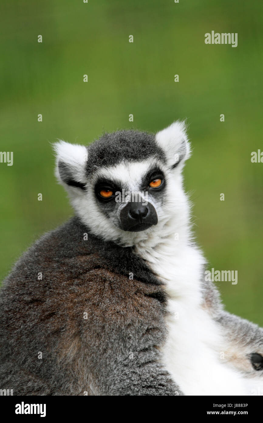 Anello-tailed Lemur presso il Cape May County Zoo, Cape May Courthouse, New Jersey, STATI UNITI D'AMERICA Immagini Stock
