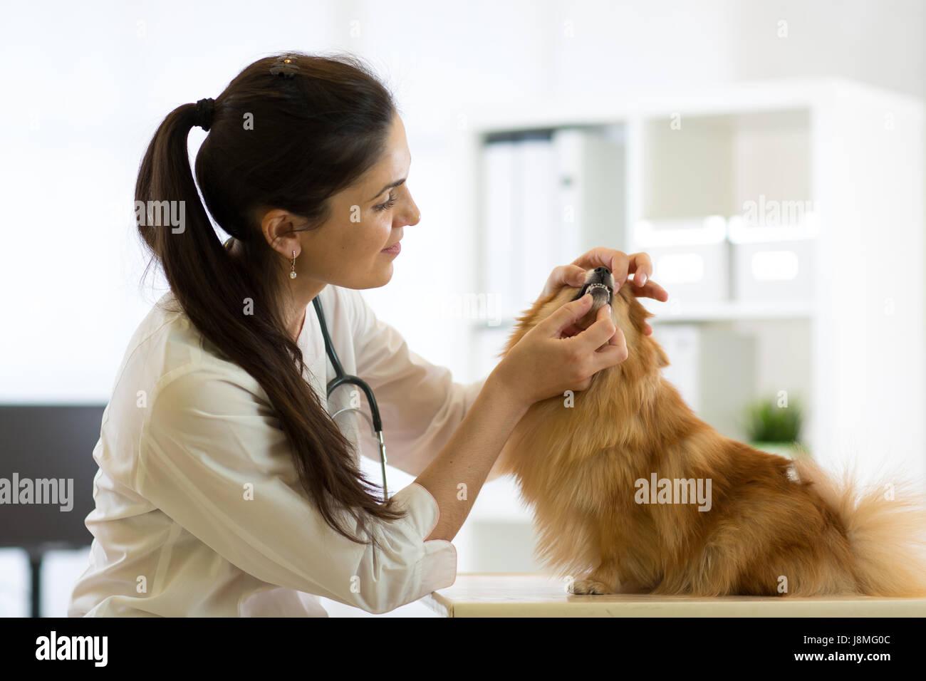 Veterinario femmina esaminando denti di Spitz Cane in clinica Immagini Stock