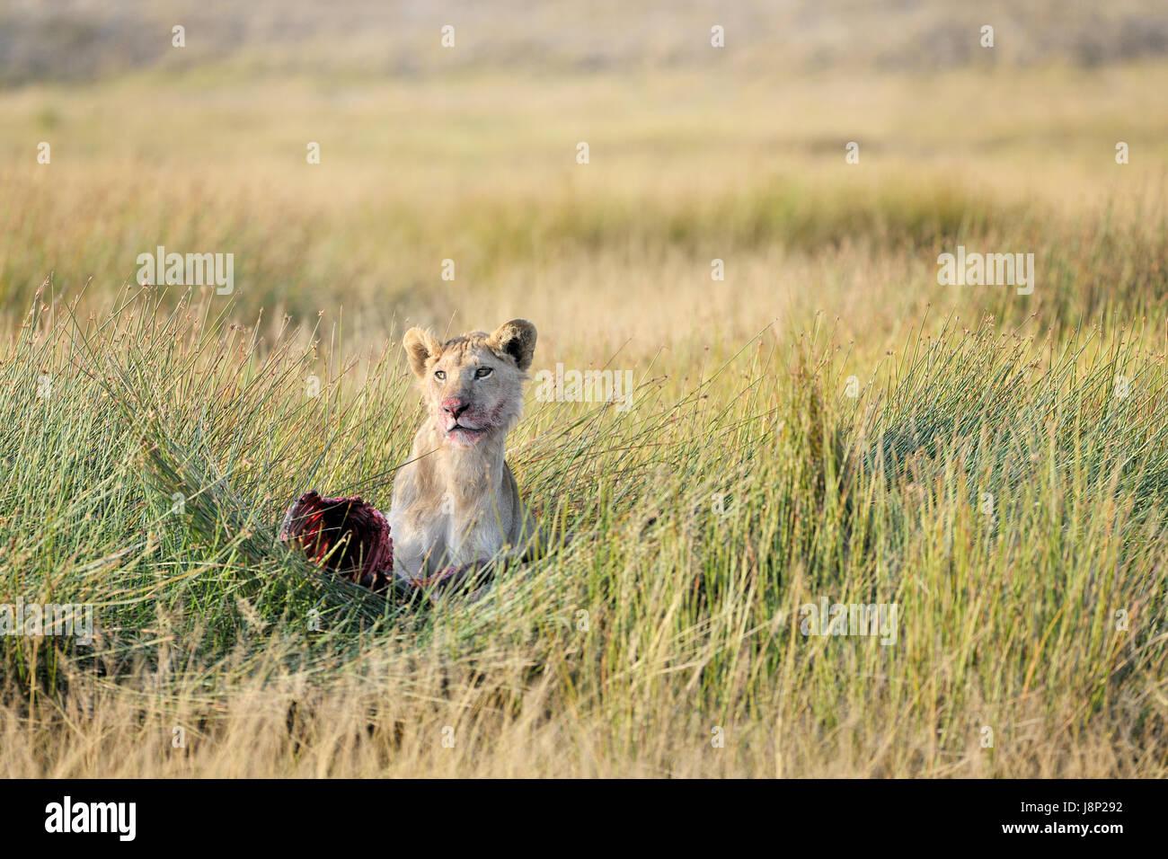 Giovane maschio Lion (Panthera leo) con kill fresca sulla savana, guardando in alto, Serengeti National Park, Tanzania Immagini Stock
