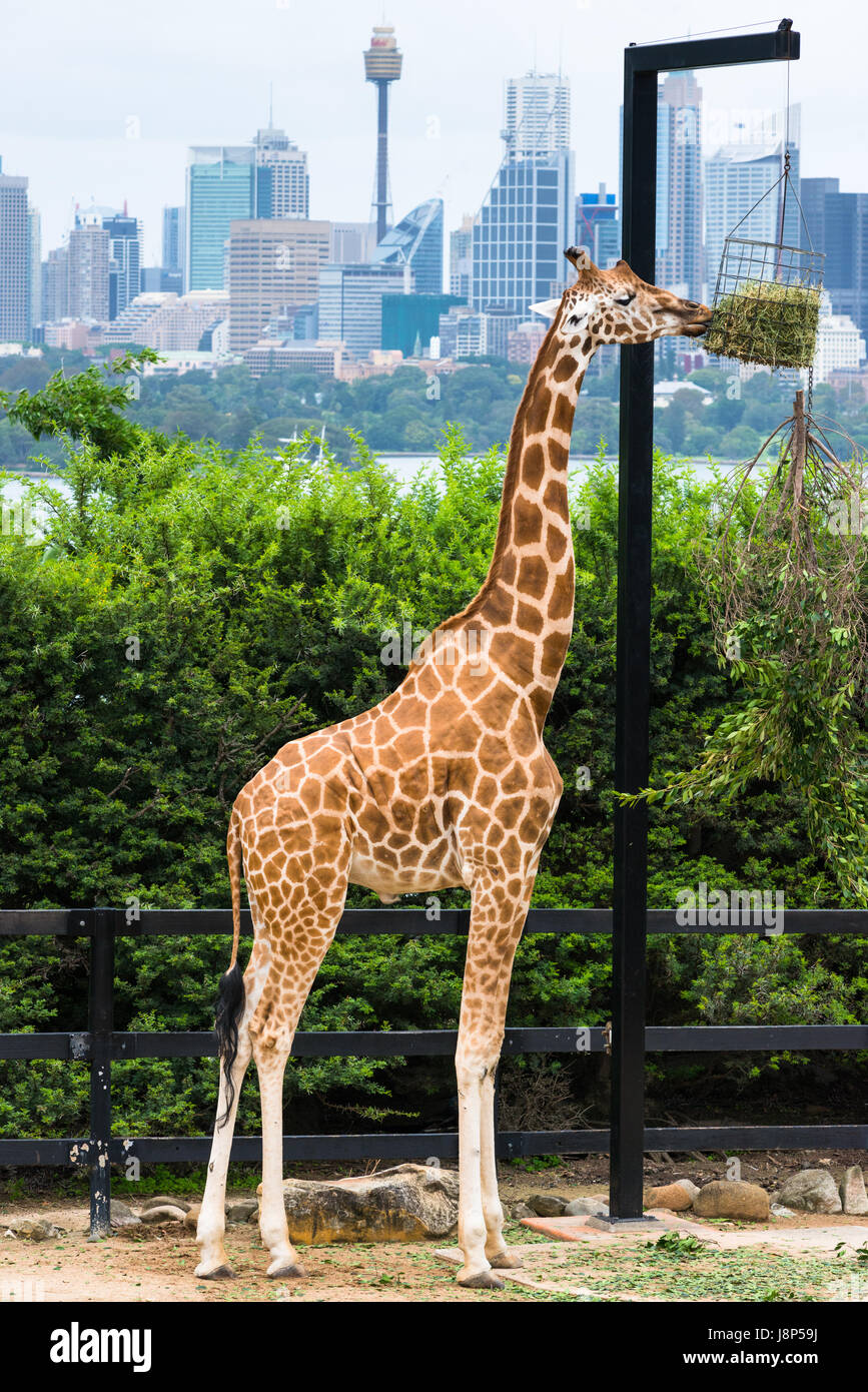 Tarronga zoo giraffe con skyline di Sydney. NSW. Australia. Immagini Stock