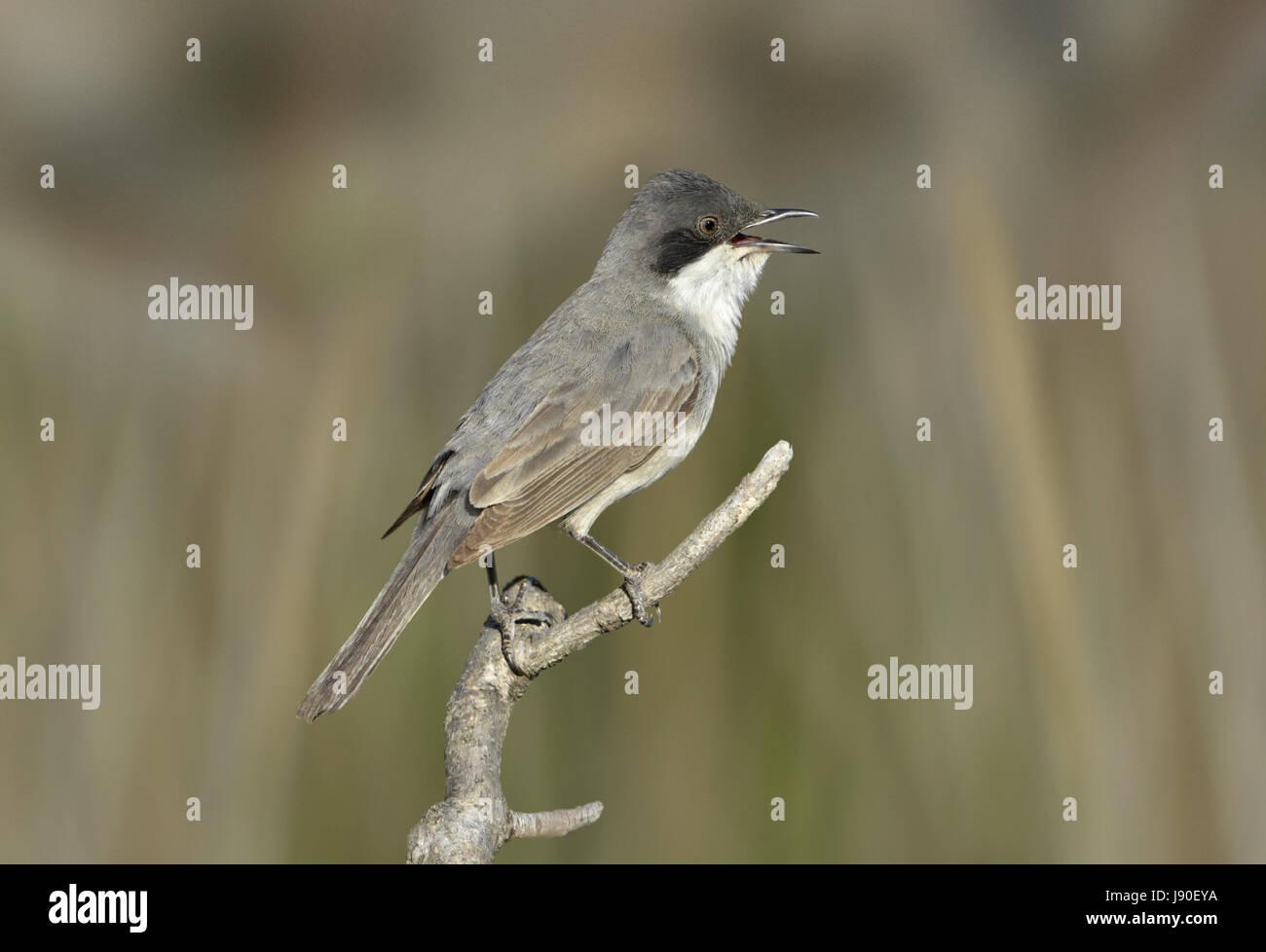 Orphean orientale trillo - Sylvia crassirostris Immagini Stock